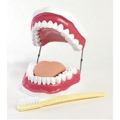Oral Hygiene Model